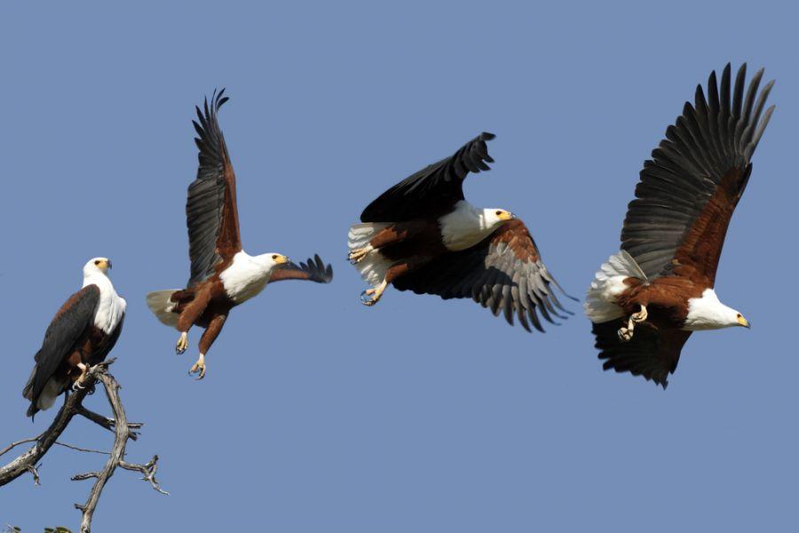 Ботсвана A25LC Африканские орел рыболов