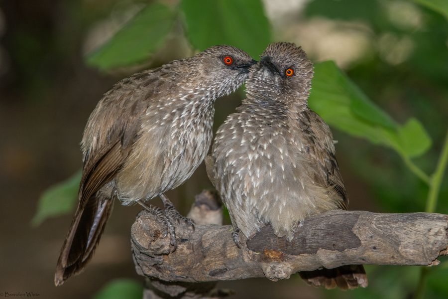 Botswana A25MC DX News Sharing a shocking secret, Arrow-marked Babbler.