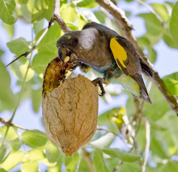 Ботсвана A25UK Туристические достопримечательности Попугай Мейера на колбасном дереве, Мореми, дельта Окавонго.
