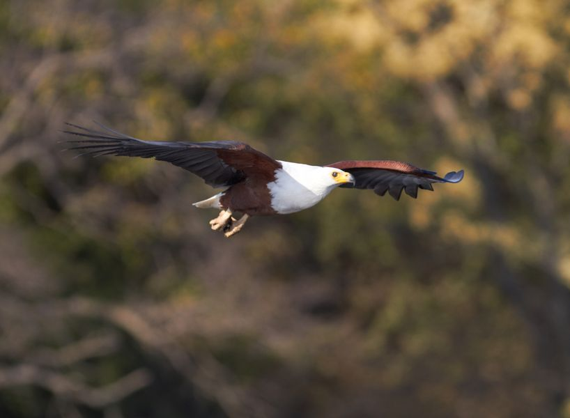 Botswana A25TQ Fish eagle attempting to catch a fish in the Chobe river in Botswana