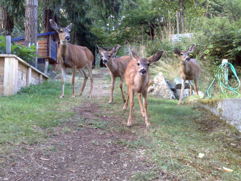 Bowen Island VE7ACN/7 DX News Deer family.