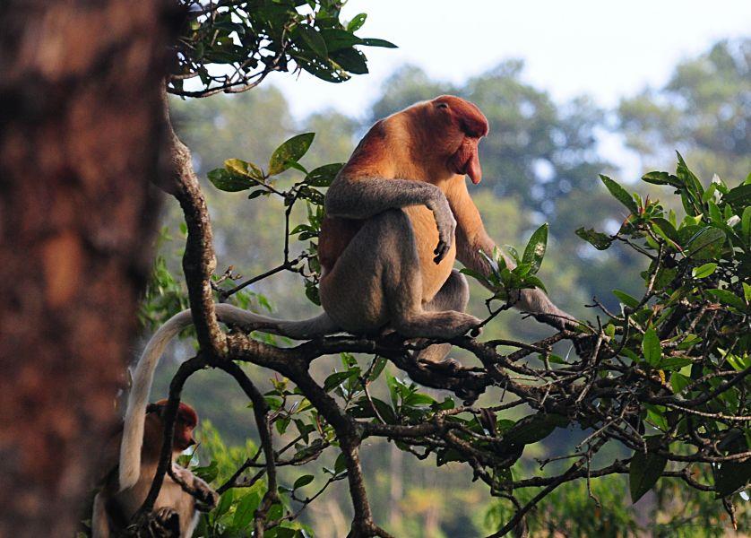 Brunei V85/OE9SBD Tourist attractions spot Proboscis Monkey, Merimbun Nature Preserve.