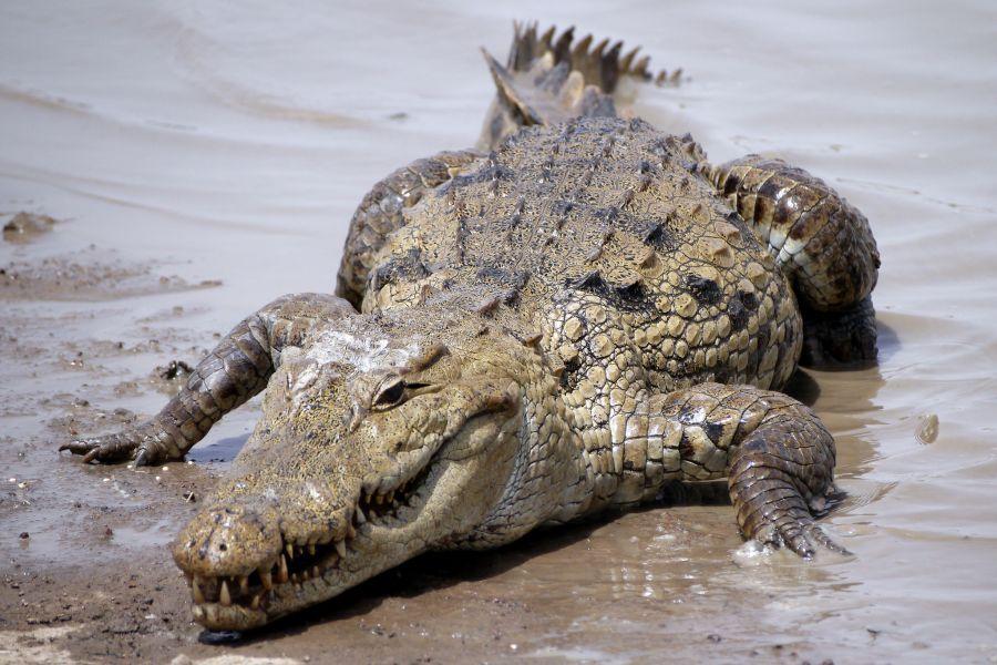 Burkina Faso XT2AFT Crocodile
