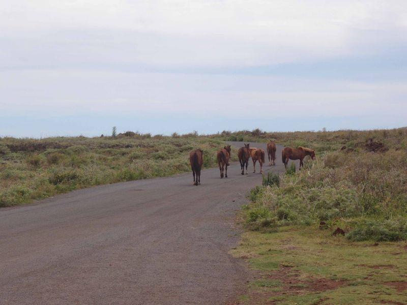 Остров Пасхи Дикие лошади