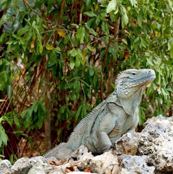 Каймановы острова ZF2DO Туристические достопримечательности Голубая Игуана