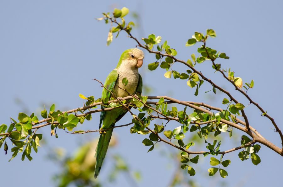 Cayman Islands ZF2MN DX News Monk Parakeet.