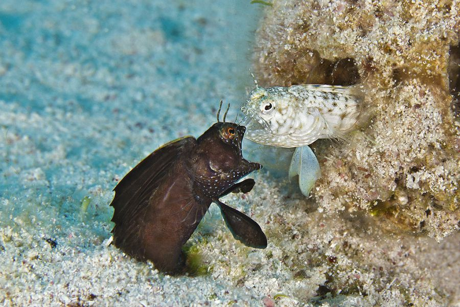 Каймановы острова ZF2SC Рыбы собачки свадебный ритуал.