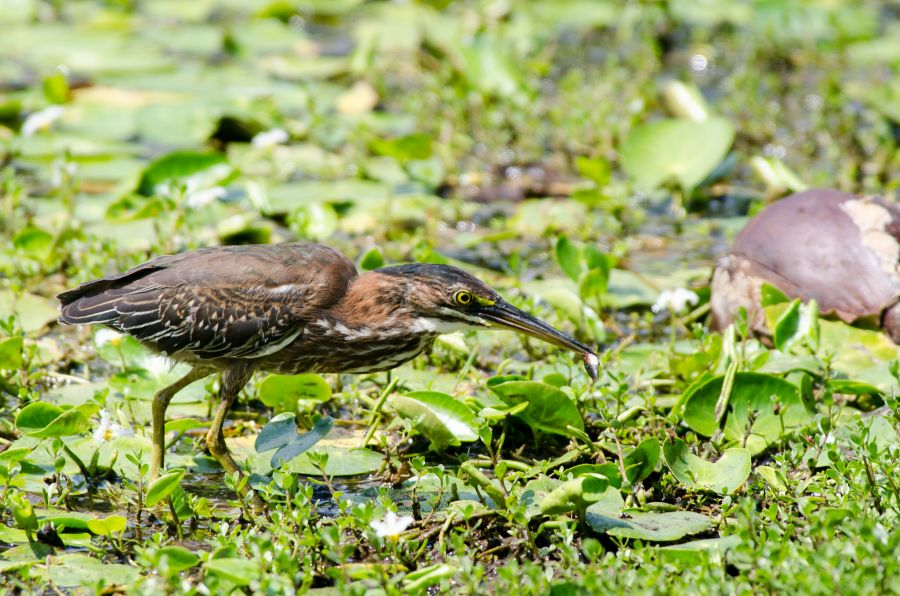 Cayman Islands ZF2ZZ DX News Green Heron.