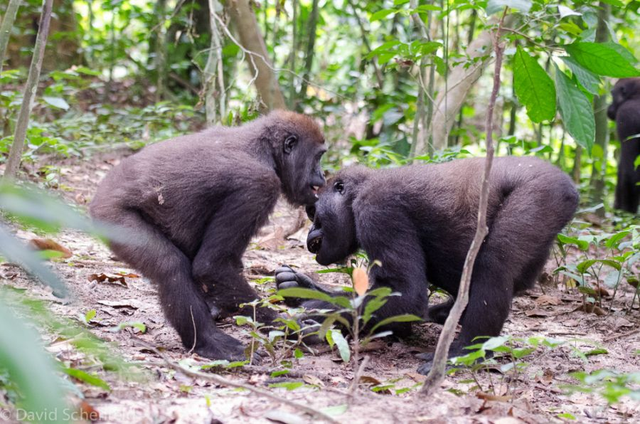 Central African Republic TL8AO DX News Two Western Lowland Gorillas playing around.