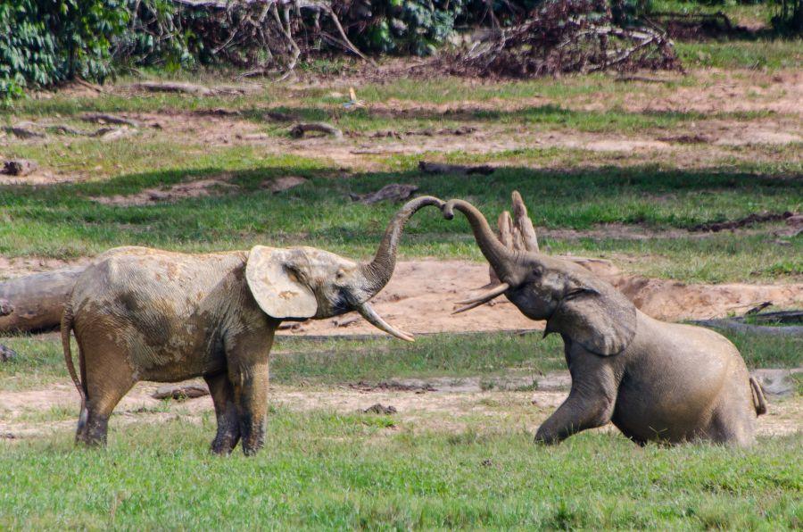 Центральноафриканская Республика TL8AO Лесные слоны, Дзанга Баи.