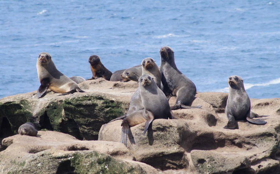 Chatham Islands ZL7/ZL3MA Tourist attractions spot New Zealand fur seals - Arctocephalus forsteri