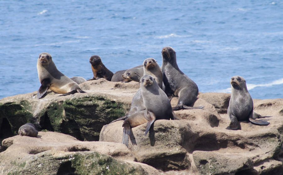 Chatham Islands ZL7/ZL3MA Tourist attractions spot New Zealand fur seals - Arctocephalus forsteri