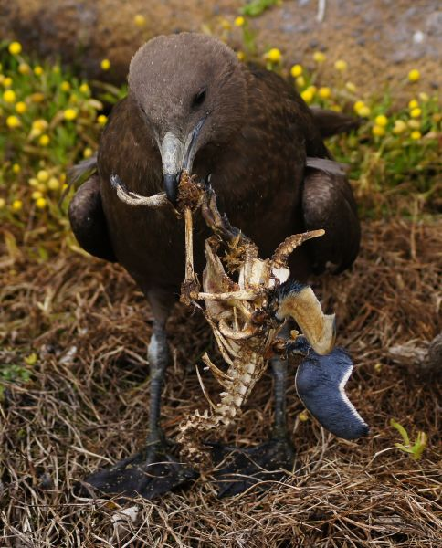 Chatham Islands ZL7G Tourist attractions spot Brown skua fledgling scavenging blue penguin carcass.