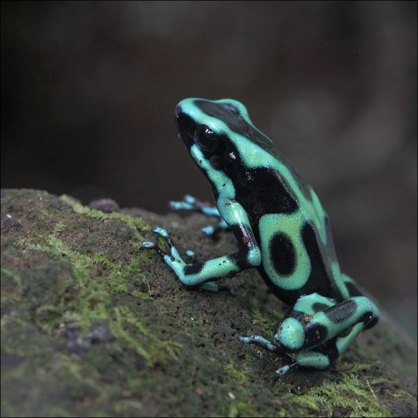 Costa Rica TI5/KL9A Green and Black Poison Dart Frog.