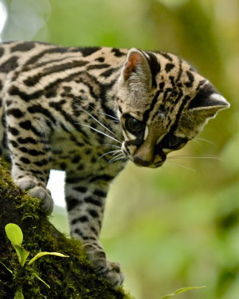 Costa Rica TI5W TI5/KL9A Tourist attractions spot Margay