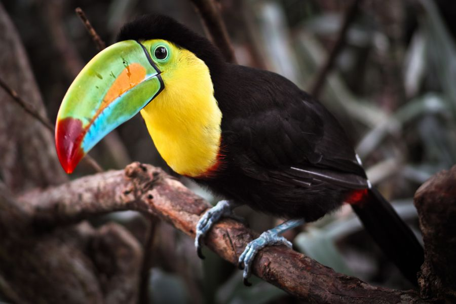 Costa Rica TI7 DX News Toucan