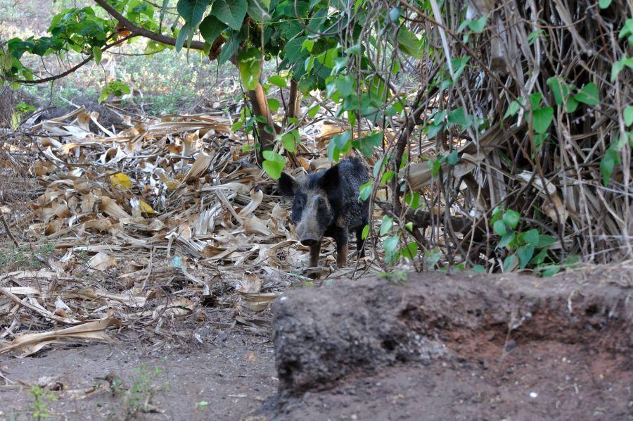 Остров Крокер Дикие свиньи