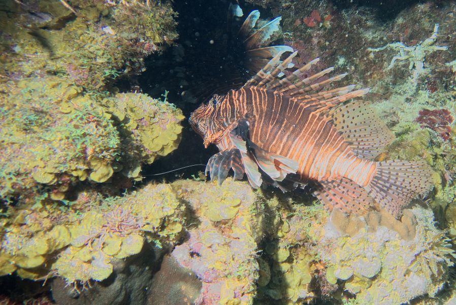 Curacao PJ2/DL3LUM A Lionfish at Beacon Point.