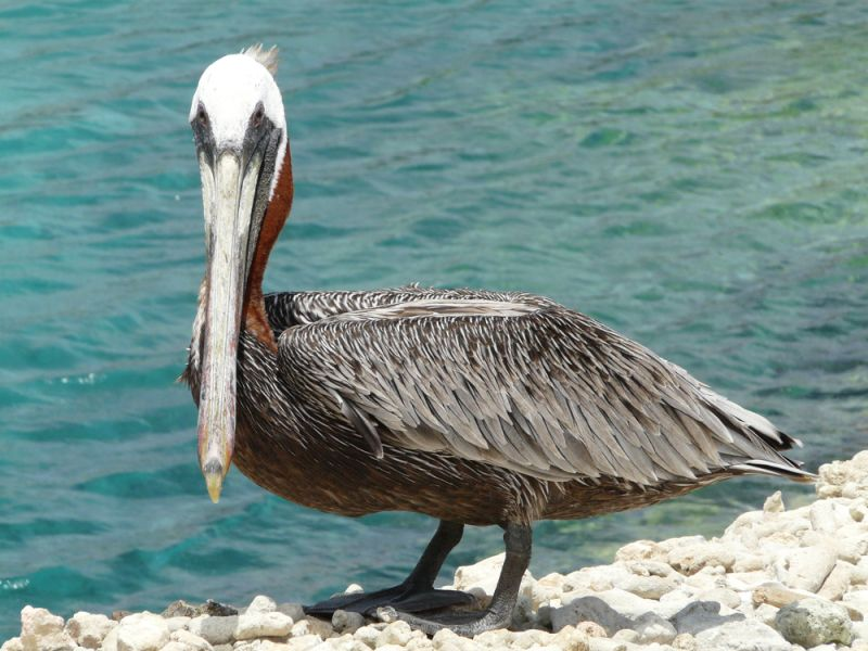 Curacao Island PJ2/PA3EYC Tourist attractions spot Pelican.