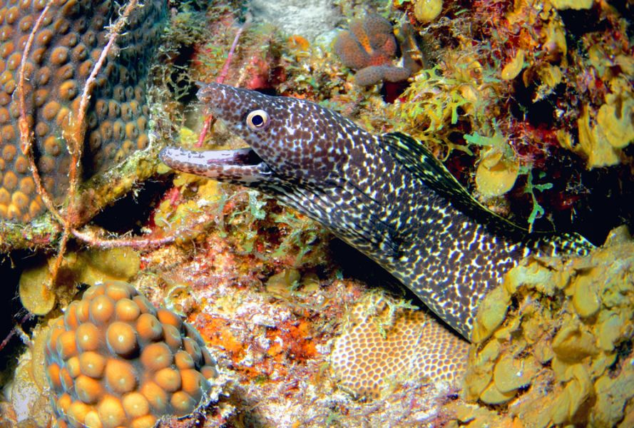 Curacao Island PJ2/KH0UN Tourist attractons A beautiful Spotted Moray.