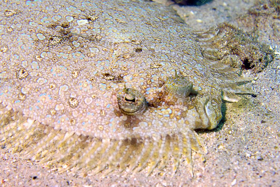 Остров Кюрасао PJ2/KH0UN Рыба павлин-камбала.
