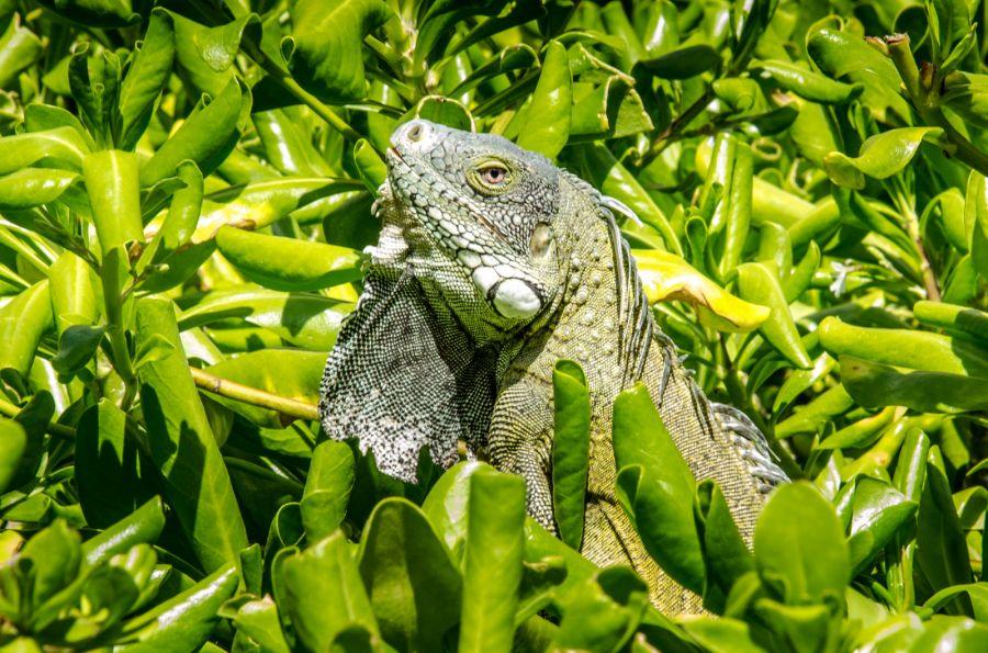 Curacao PJ2T DX News Caribbean iguana.