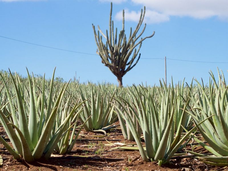 Curacao Island PJ2/VA3EGG Tourist attractions spot Aloe Vera farm.