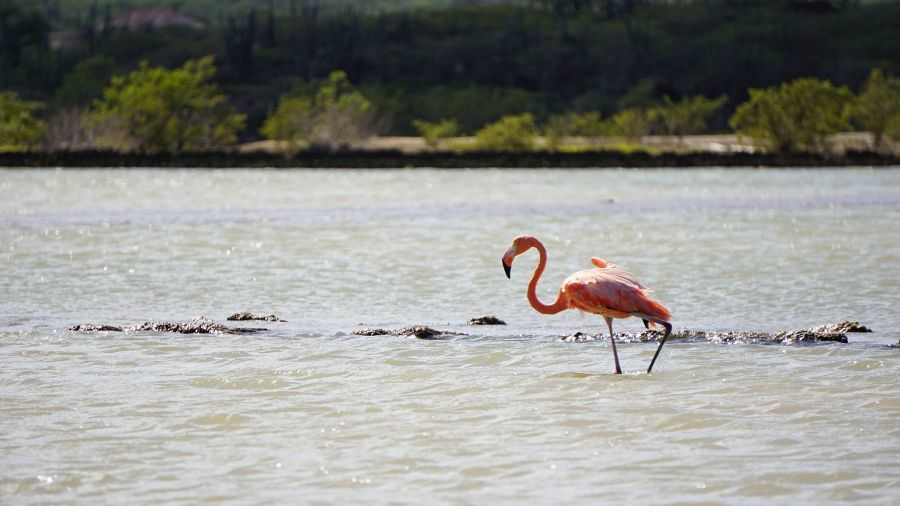 Curacao PJ2/VA3EGG A Flamingo at the salt pans.