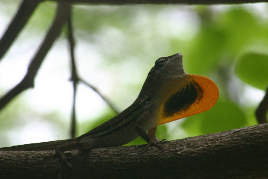 Curacao Island PJ2/VA7AM Tourist attractions spot Beautiful Lizard.