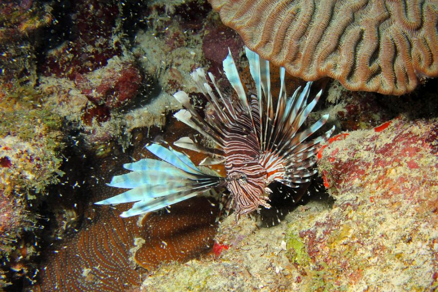 Curacao Island PJ2/W4PGM PJ2/W4VAB DX News A beautiful but invasive Lionfish of the species Pterois miles.