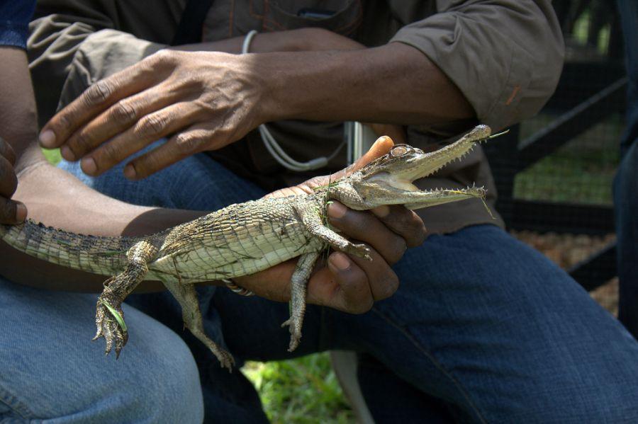 Democratic Republic of Congo 9Q0HQ/1 9Q0HQ DX News Baby crocodile.