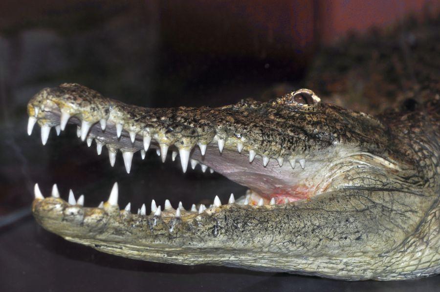 Дарвин Крокодил О пользе чистки зубов