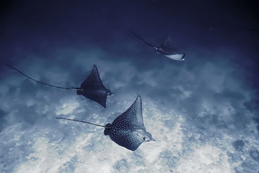 Dharavandhoo Island Baa Atoll Maldives 8Q7YC Tourist attractions spot Spotted Eagle Ray.