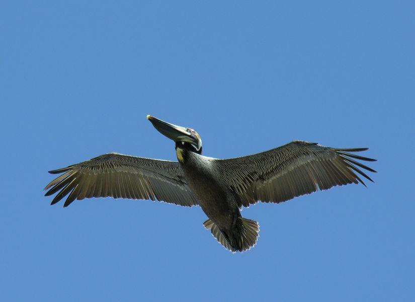 Остров Драй Тортугас K4T Туристические достопримечательности Коричневый пеликан.
