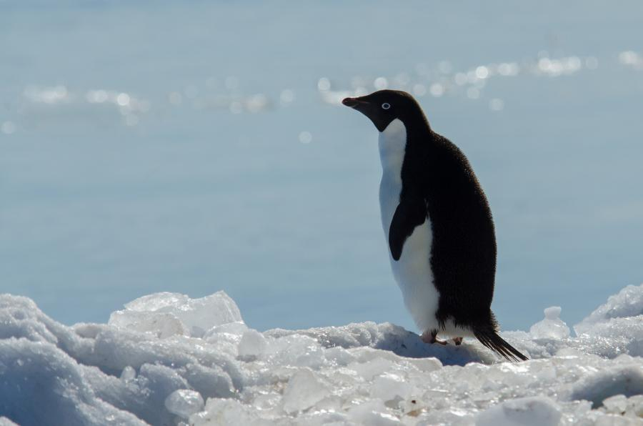 Lonely Adelie Penguin, Adelie Land, Antarctica FT3YL Tourist attractions spot