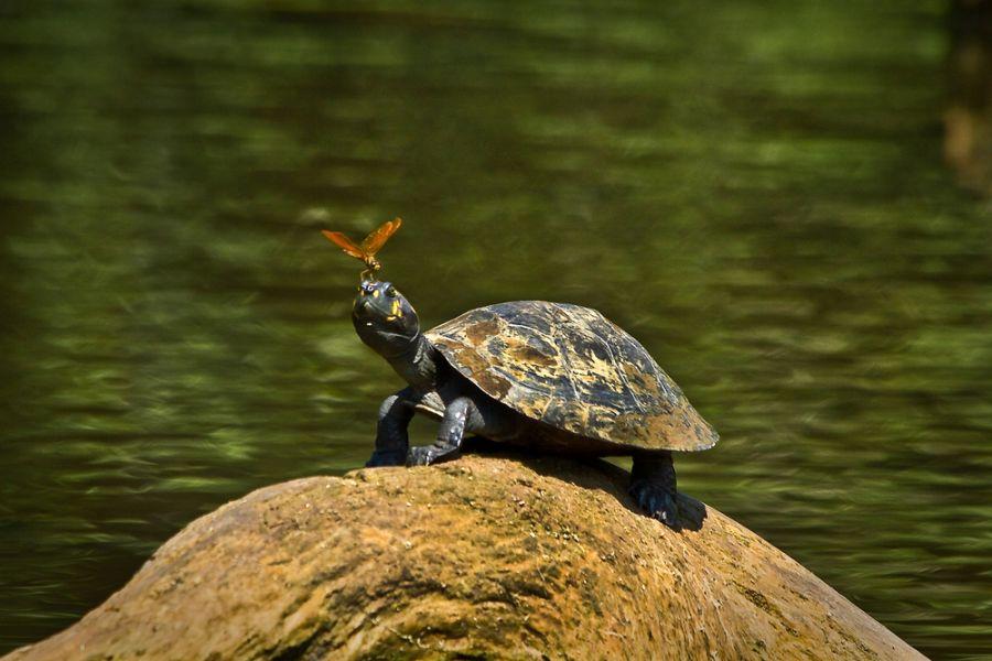 Ecuador HC1MD DX News Close up portrait of turtle in amazon rainforest, Yasuni National Park, Orellana.