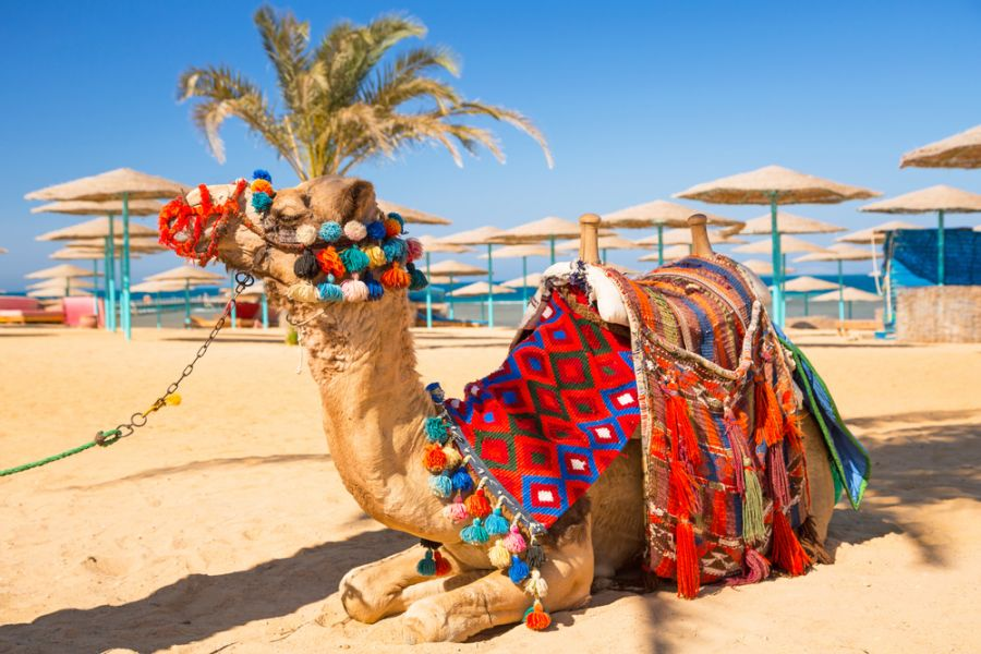 Egypt SU90IARU DX News Camel resting in shadow on the beach of Hurghada.