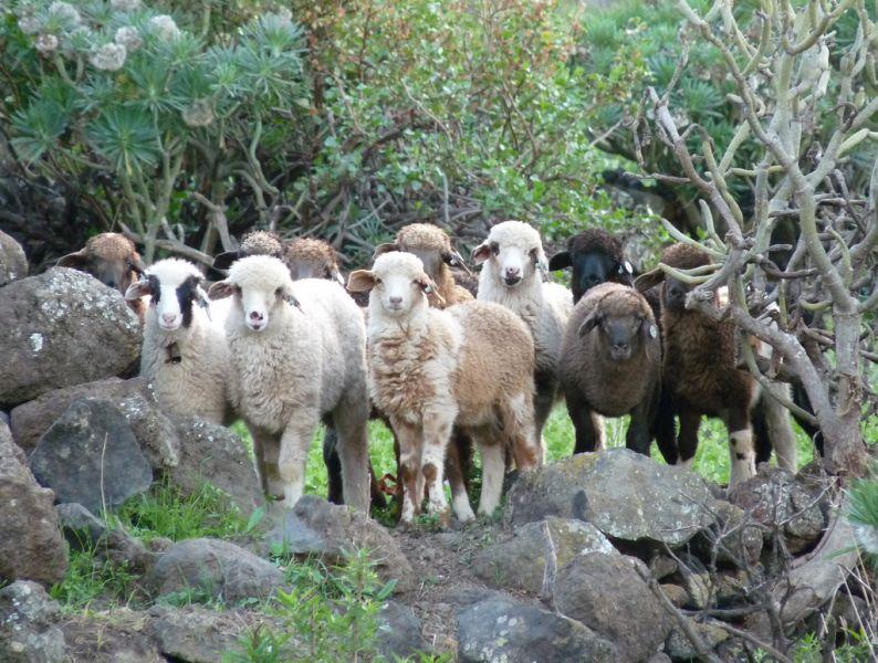 El Hierro Island EA8/HB9FIH Tourist attractions spot Posing sheep.