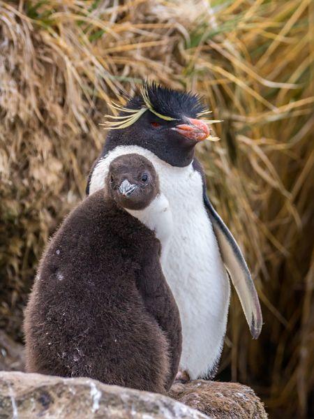 Falkland Islands VP8KVA DX News Rockhopper Penguin (Eudyptes chrysocome), West Point Island.
