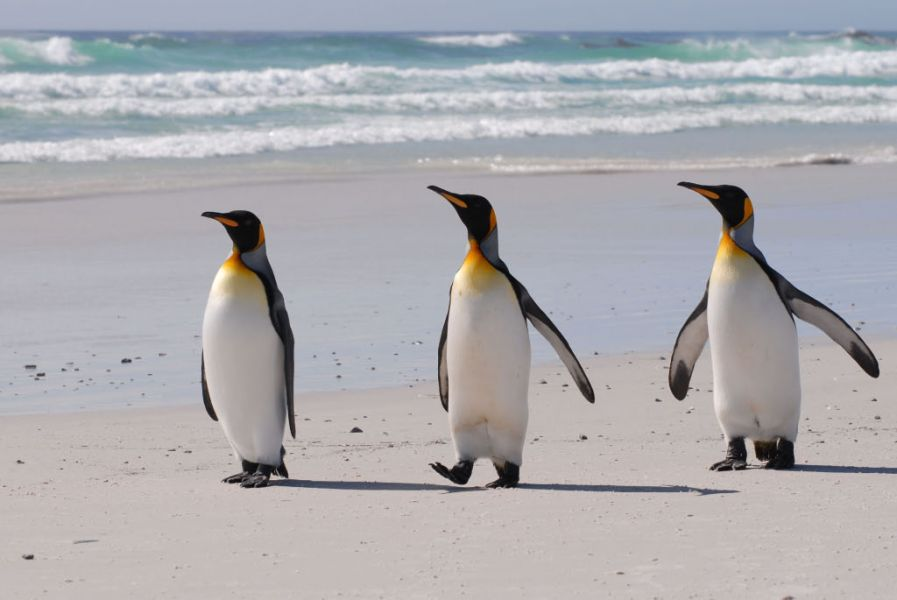 Falkland Islands VP8KVA King Penguins, Volunteer Beach.
