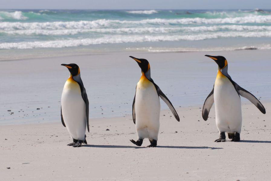 Falkland Islands VP8KVA King Penguins, Volunteer Beach.
