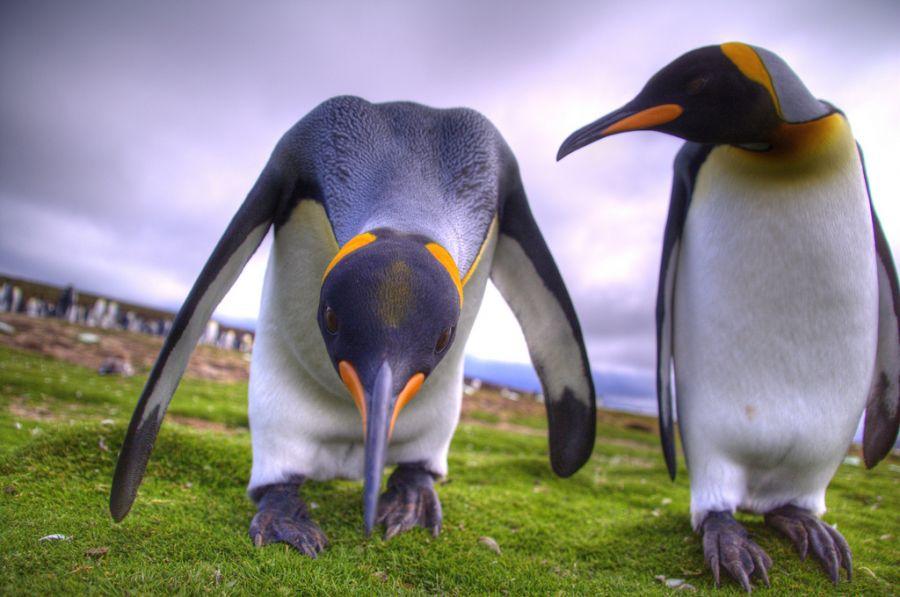 Фолклендские острова VP8RHF Королевские пингвины.