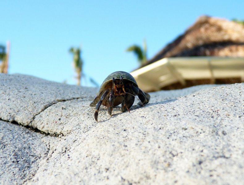 Mango Bay Viti Levu Island Fiji 3D2PW Hermit Crab.