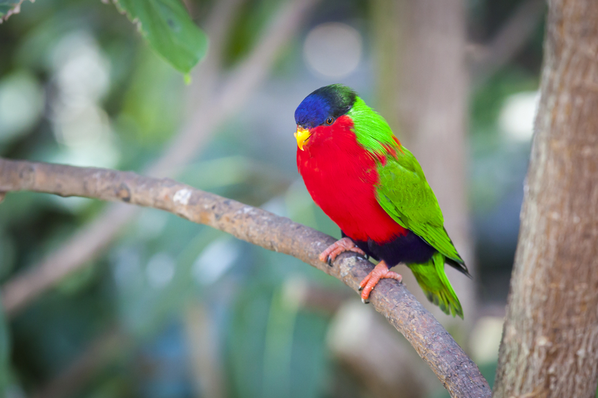 Fiji 3D2SA Collared Lory of the Fiji Islands