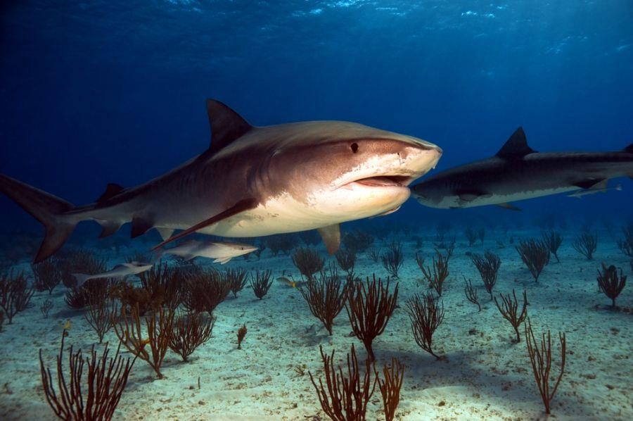 Bahamas C6AKQ C6AQL DX News Tiger shark.