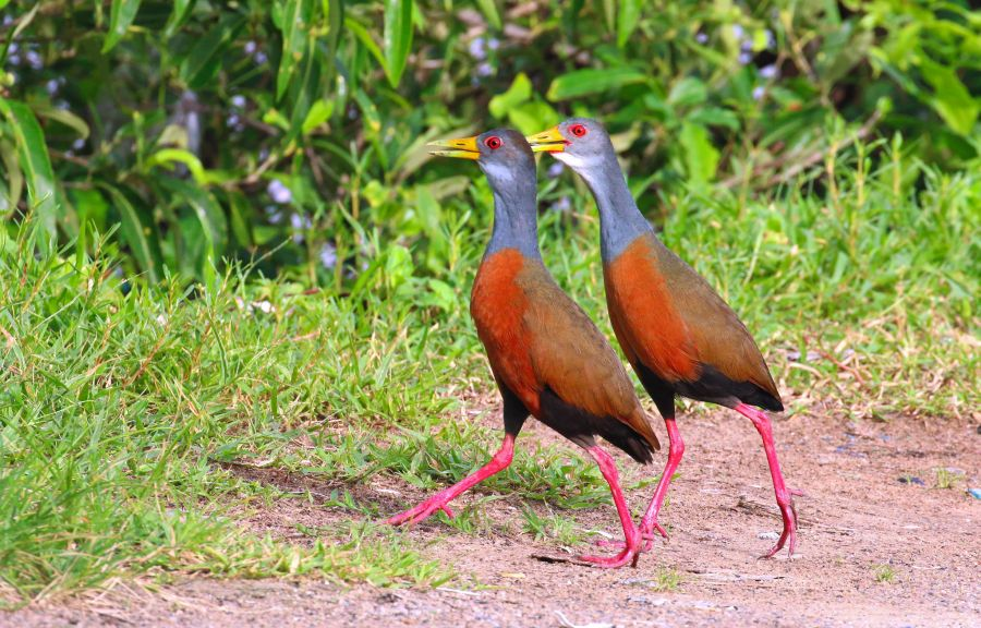 French Guiana FY/F6CKD Tourist attractions spot Grey necked wood rail.
