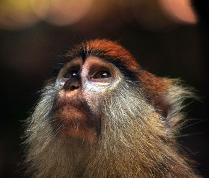 Gambia C5FUD C5GCJ DX News Patas Monkey.