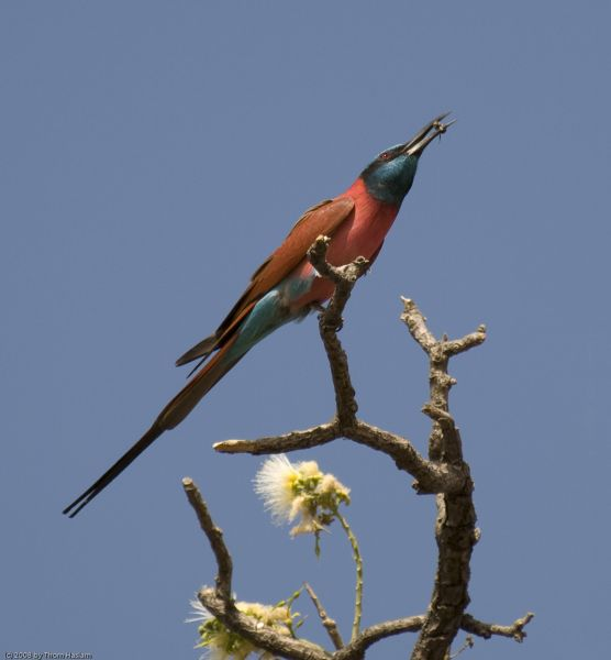 Gambia C5FUD C5GCJ Tourist attractions spot Northern Carmine Bee-eater.