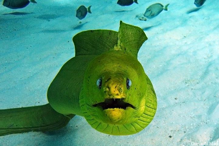 Grand Cayman Island ZF2EA Green Moray.