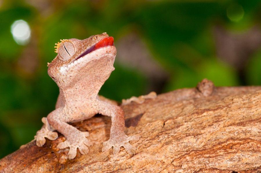 Grande Terre Island New Caledonia TX90IARU Crested Gecko.